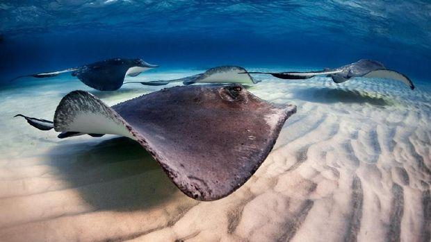 176 Orang Tersengat Ikan Pari di Pantai Kalifornia