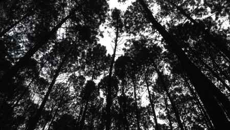 Siluet Keasrian Hutan Pinus Mangunan, Yogyakarta