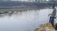 Sungai Kering, Ini Cara Peternak Kerbau di Jepara Mandikan Ternak