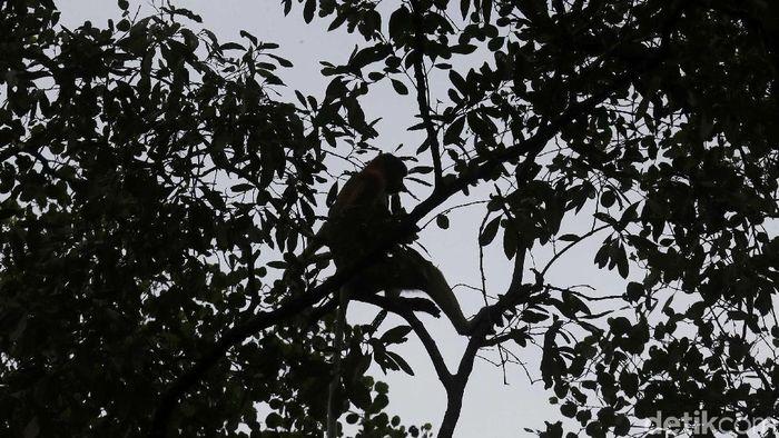 Bekantan merupakan primata yang banyak ditemukan di kawasan Kalimantan. Penebangan hutan ilegal hingga karhutla mengancam kelestarian primata tersebut.
