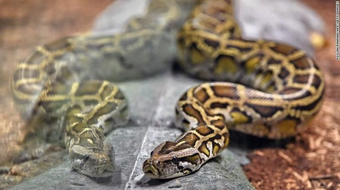 Reticulated python snakes are known to be the longest in the world. (Roslan Rahman/AFP/Getty Images)
