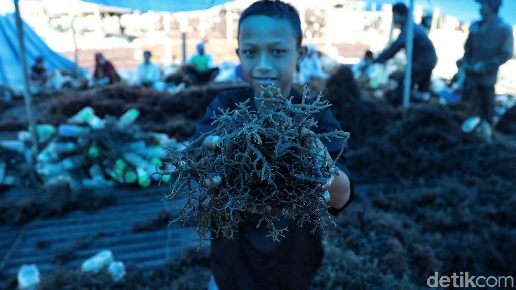 Harga Rumput Laut Anjlok Akibat Pandemi, Petani di Polman Meradang