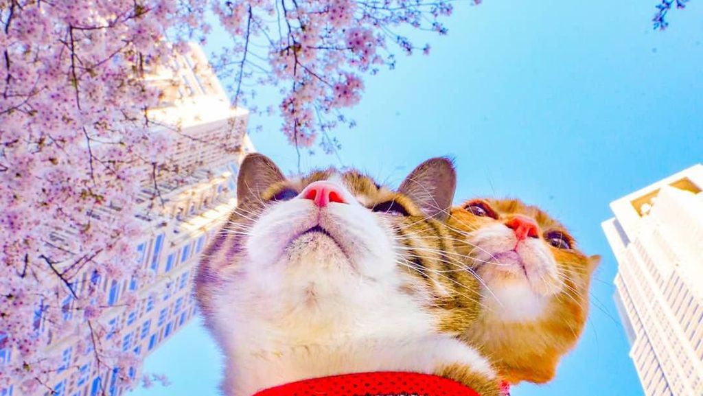Dua Kucing Imut Ini Sudah Keliling Jepang Lho!