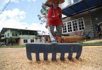 Warga menjemur padi organik