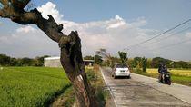 Pemkab Klaten Kaji Polisikan Pembakar Pohon Peneduh Jalan