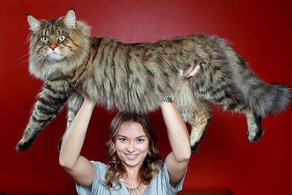 Sebesar ini kira-kira kalau si kucing diangkat oleh si pemiliknya. Foto: via Bored Panda