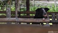 Surplus Dagang Dengan Israel, RI Dibantu Ekspor Pakan Babi