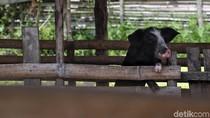 Babi yang Mati Kena Virus Kolera di Sumut Jadi 5.800 Ekor