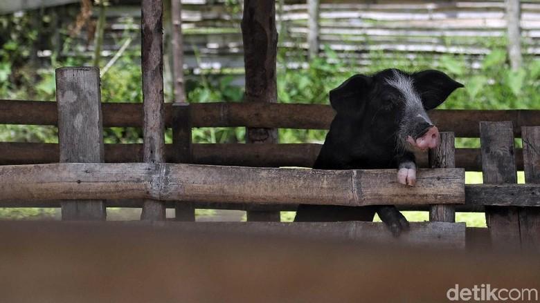 Bukan di Sungai, Bangkai Babi Kini Dibuang di Jalanan Medan