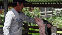Kementan Pastikan Virus Flu Babi G4 Belum Terdeteksi di Indonesia