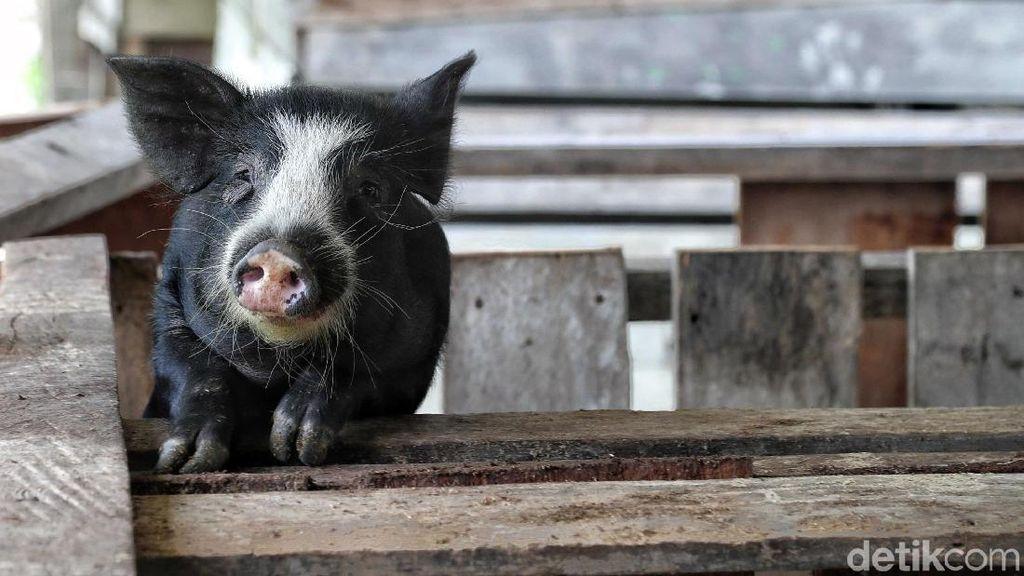 Geliat Usaha Ternak Babi, Bisnis Menggiurkan di Perbatasan RI