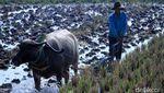 Memasuki Musim Hujan, Petani di Ciparay Mulai Bajak Sawah