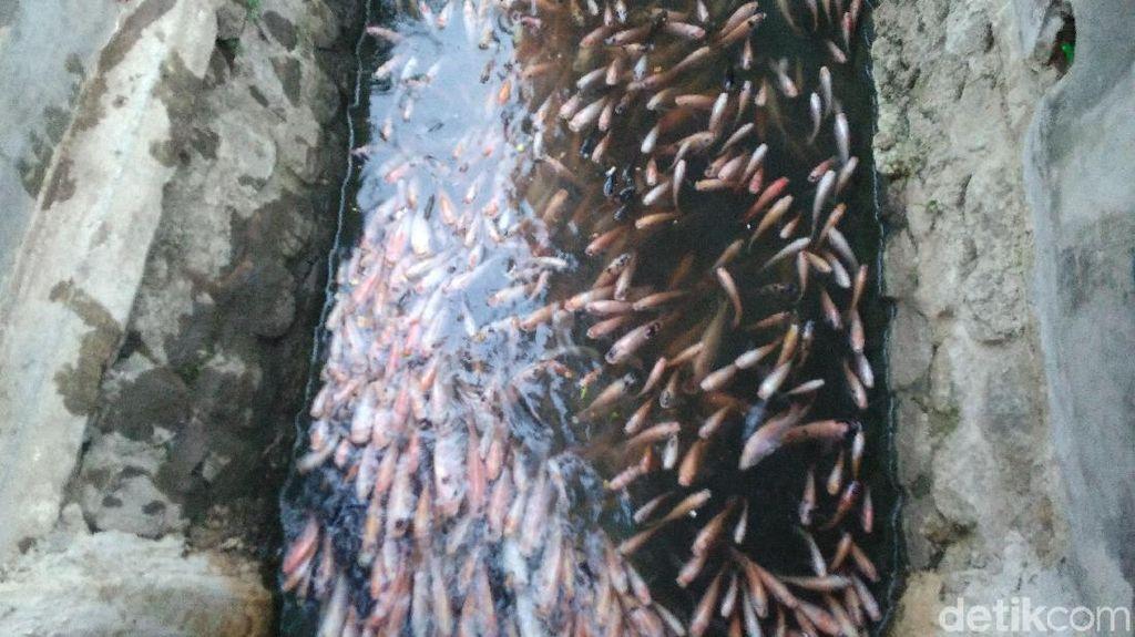 Menyulap Selokan Kotor Jadi Kolam Ikan