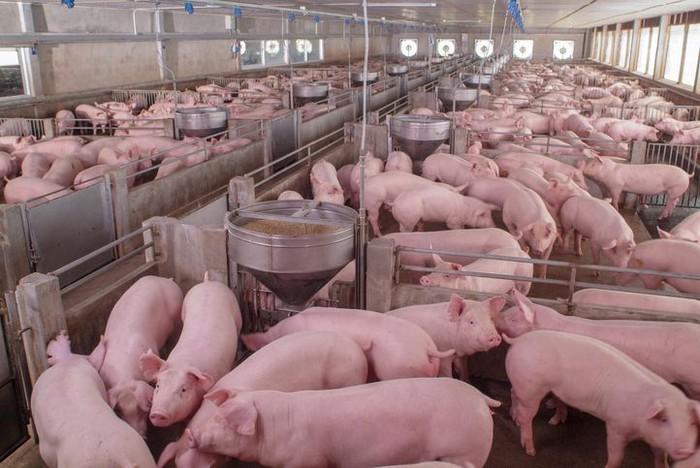 Alasan daging babi haram