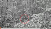 Kucing Emas, Satwa Misterius Langka Tertangkap Kamera di Hutan Sumsel