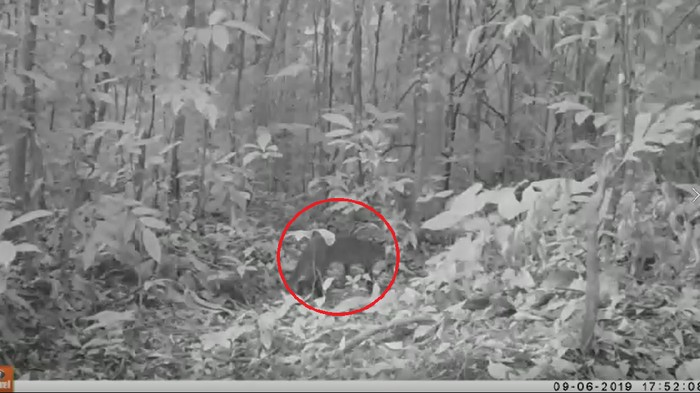 Kucing emas tertangkap kamera di hutan Sumsel (Dok. Ditjen KSDAE KLHK)