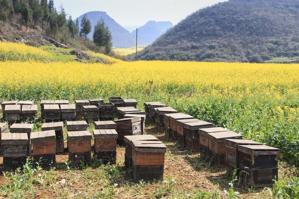 Kalau sudah di sini, jangan cuma melihat keindahan lembah kuning Luoping. Kamu juga bisa menikmati madu alami yang ternak oleh warga sekitar. (iStock)