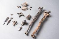 Temuan Kerangka Ungkap Kera Purba Berkaki Mirip Manusia dan Berlengan Orangutan