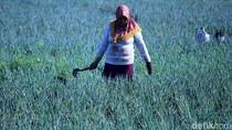 Petani Banting Setir Tanam Daun Bawang di Masa Pergantian Musim