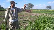 Kemarau Bikin Tikus di Kediri Merajalela, Panen Petani Merugi