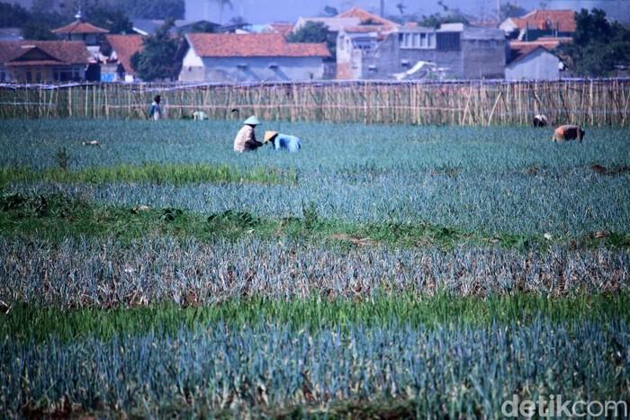 Sejumlah petani padi di Kecamatan Solokanjeruk, Kabupaten Bandung, memanfaatkan lahan persawahan untuk menanam daun bawang.