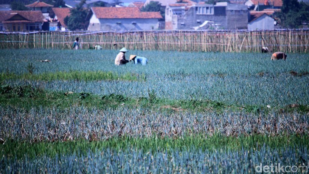 Pemerintah Siapkan 90.000 Hektare Lahan Pangan Setelah Pandemi