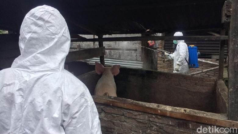 Kolera Babi Mewabah di Sumut, Kandang Babi di Sergai Disemprot Disinfektan