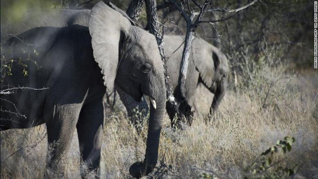 Anak Gajah Liar Ditemukan Terperangkap Jerat di Riau