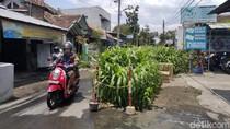 Menagih Janji Pemkot Yogya Perbaiki Jalan yang Jadi Kebun Jagung