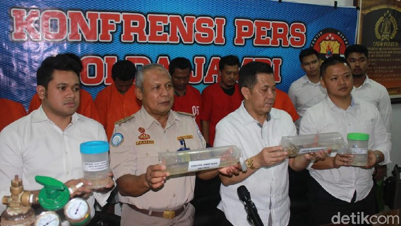 Penyelundupan Benih Lobster Rp 7,7 Miliar dari Jambi-Singapura Digagalkan
