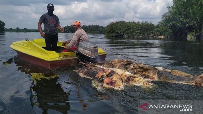 Bangkai babi di Sungai Siombak diangkut. (Antara Foto)