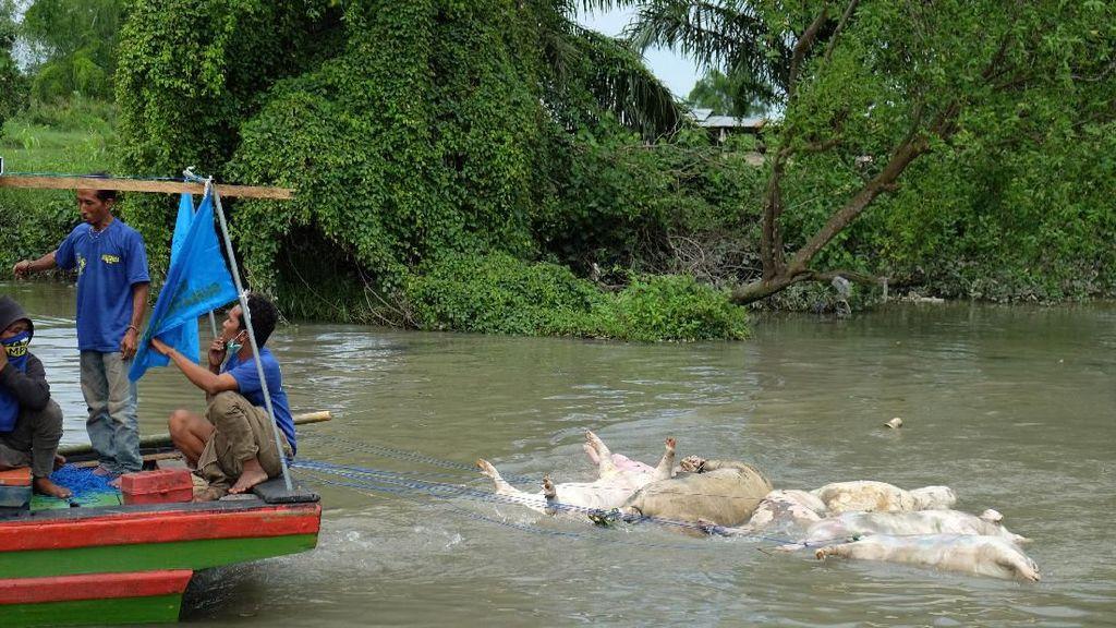 Virus Hog Cholera Kini Menyebar di 16 Kabupaten Kota Sumut
