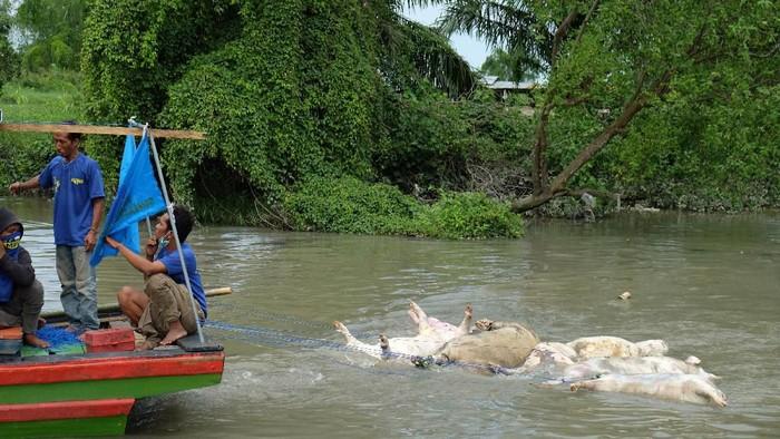 Petugas dengan alat berat memasukkan bangkai babi ke lubang saat akan dikuburkan, di tepi Sungai Bederah, Kelurahan Terjun, Medan, Sumatera Utara, Selasa (12/11/2019).  (Antara Foto/Irsan Mulyadi)