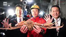 Mengenal Habitat Kepiting Jepang yang Seharga Mobil Mewah