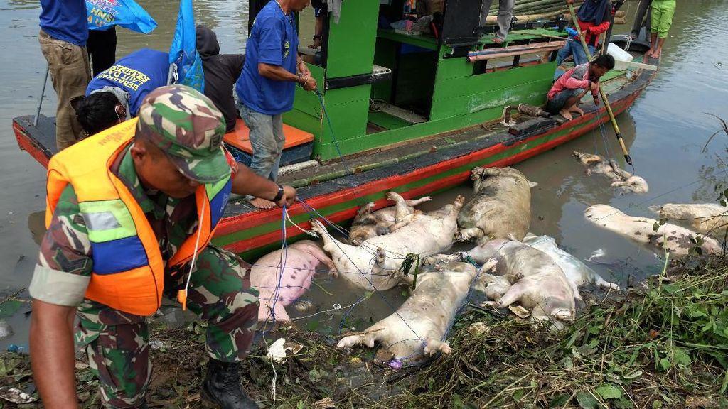 Pemerintah Buka Opsi Beli Babi yang Terkena Virus Hog Cholera di Sumut