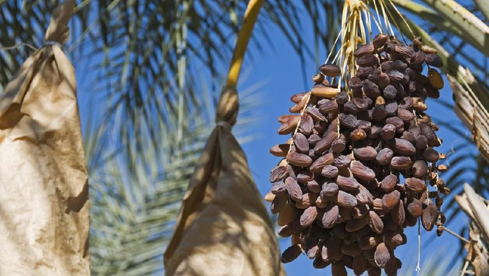 Medjool dates ready for harvest in southern California