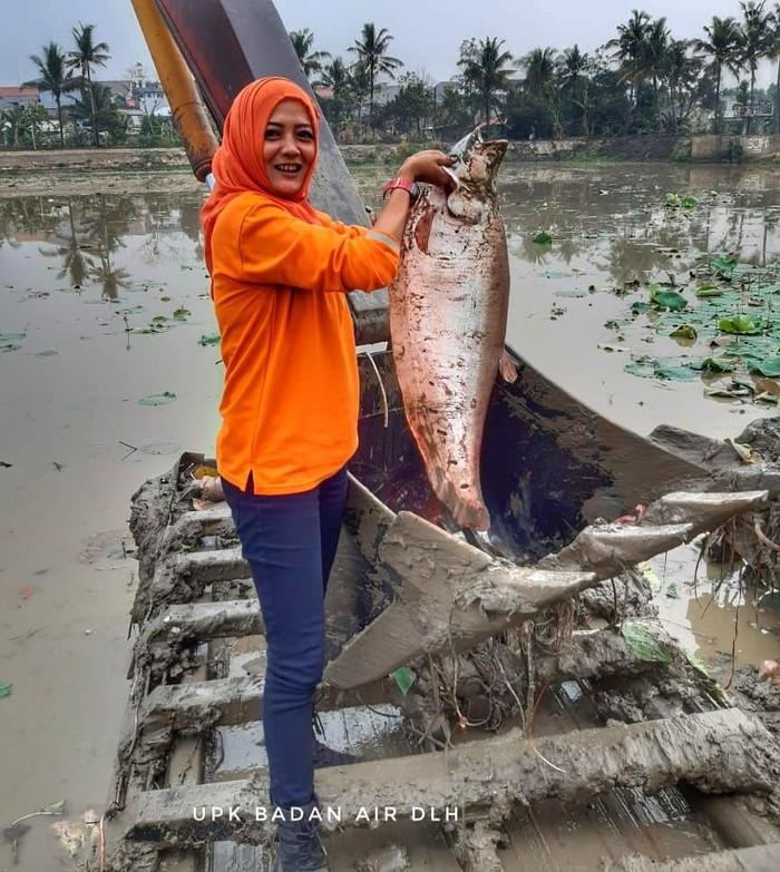 Operator ekskavator UPK Badan Air temukan ikan belida jumbo di Setu Mangga Bolong (Dok. UPK Badan Air DLH DKI)