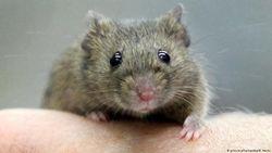 Belajar dari Tikus untuk Mengobati Depresi Manusia