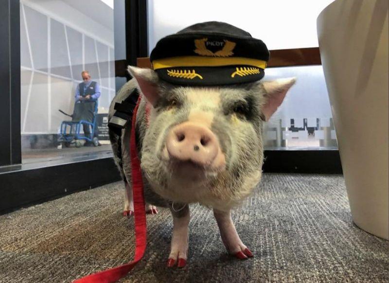 Babi ini bernama LiLou, dia seekor babi terapi. (Jane Ross/Reuters)