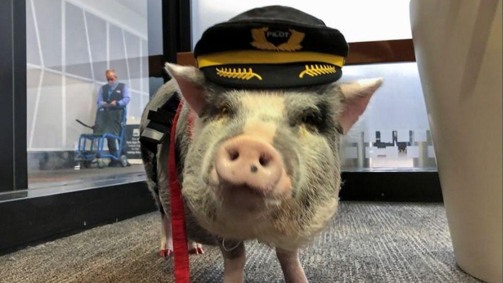 Di Bandara Ini Ada Babi Berkeliaran... untuk Bantu Penumpang!