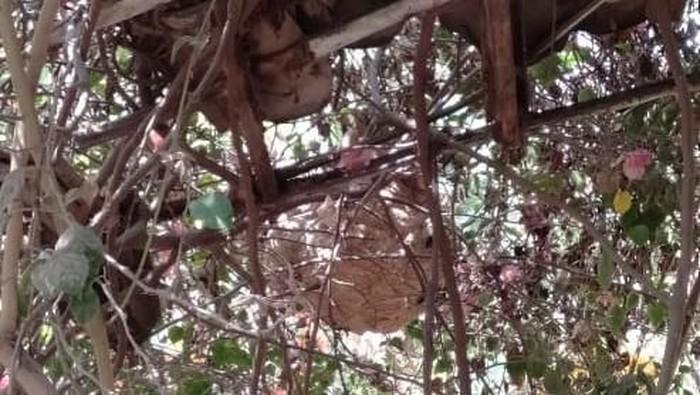 Sarang tawon Vespa affinis di permukiman warga Klaten. (Foto: dok. Istimewa)