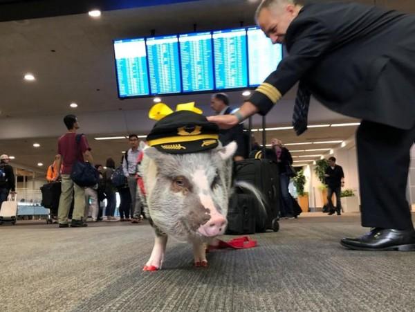 Dia bisa salaman dengan menyodorkan kakinya yang punya kuku bercat merah. Dia juga bisa berpose dan selfie untuk foto dengan penumpang. (Jane Ross/Reuters)