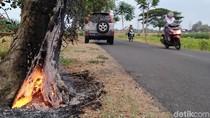 Pohon Peneduh Jalan di Klaten Dibakar Lagi