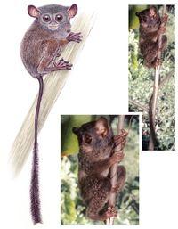 Tarsius niemitzi ditemukan di Kepulauan Togean