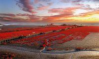 Pantai merah di China jadi incaran para wisatawan.