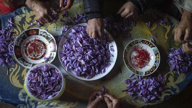 In this Tuesday, Nov. 5, 2019 photo, villagers collect Saffron flowers at dawn during harvest season in Askaoun, a small village near Taliouine, in Morocco's Middle Atlas Mountains. The saffron plants bloom for only two weeks a year and the flowers, each containing three crimson stigmas, become useless if they blossom, putting pressure on the women to work quickly and steadily. (AP Photo/Mosa'ab Elshamy)