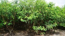 Terpikat Eduwisata Pohon Penghasil Listrik dari Karimun