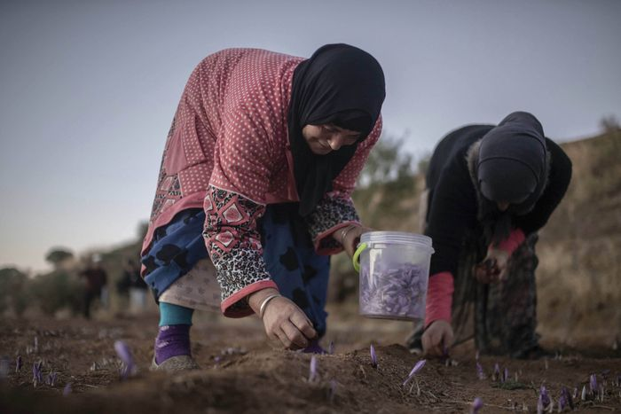 Para petani memanen bunga saffron di Desa Askaoun, Maroko, 5 November lalu. AP Photo/Mosaab Elshamy.