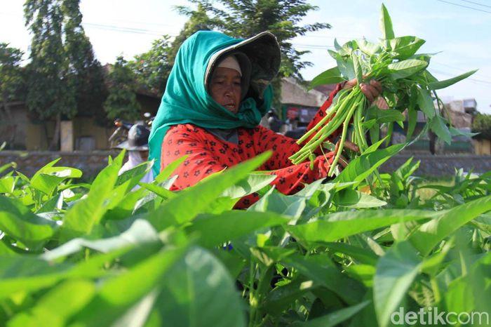 Sejumlah petani melakukan panen kangkung.