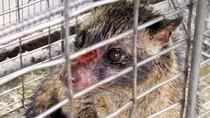 Kopi Luwak Made in Blitar Terbang ke AS hingga Inggris